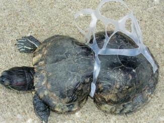 ook-schildpadden-worden-getroffen-door-ons-afval